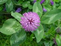 Organic Red Clover Extract, Plant, Herbal