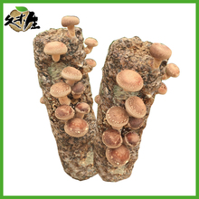 Factory wholesale cultivating fresh better price want to know more china shiitaek mushroom log for sale