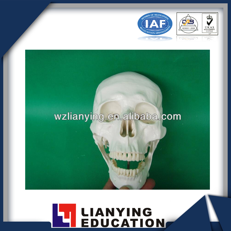 Life-Size Plastic Skull For Sale