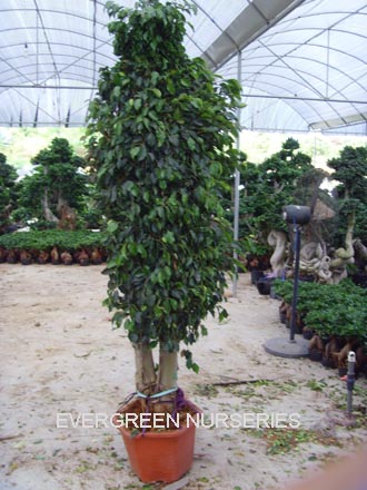 Ficus benjamina plantas le osas identificaci n del - Ficus benjamina precio ...