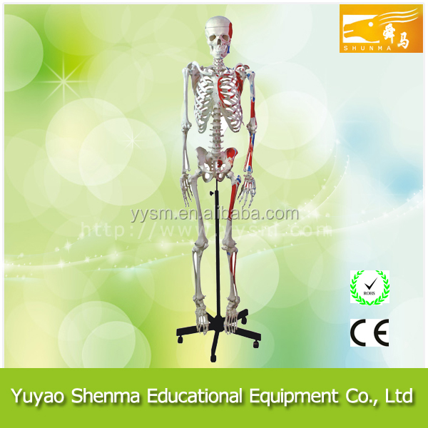 Human Muscular Skeleton school and lab plastic artificial human skeleton for sale