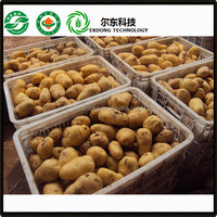 Fresh holland potato price