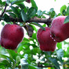 Sweet Red Huaniu Apple for Sale 2015 New Crop Red apple /Huaniu Apple