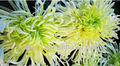 High quality Wild chrysanthemum P.E