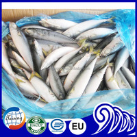 Frozen Fish Pacific Mackerel Species Scomber Japonicus