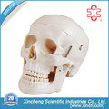 XC-104D Xincheng Scientific Teaching Human Skull