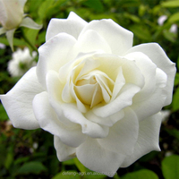 Best Wholesale Distributors Of The Highest Quality Fresh White Roses Cut Fresh Flower Bouquets packaging