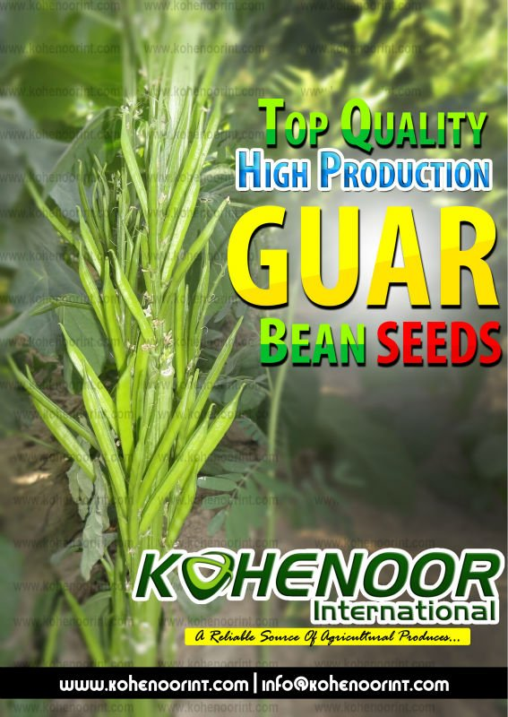 Guar Seeds for forage