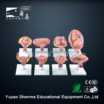 Factory wholesale fetus development model students learning fetus model