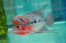 Flowerhorn fish farm and wholesale in Thailand