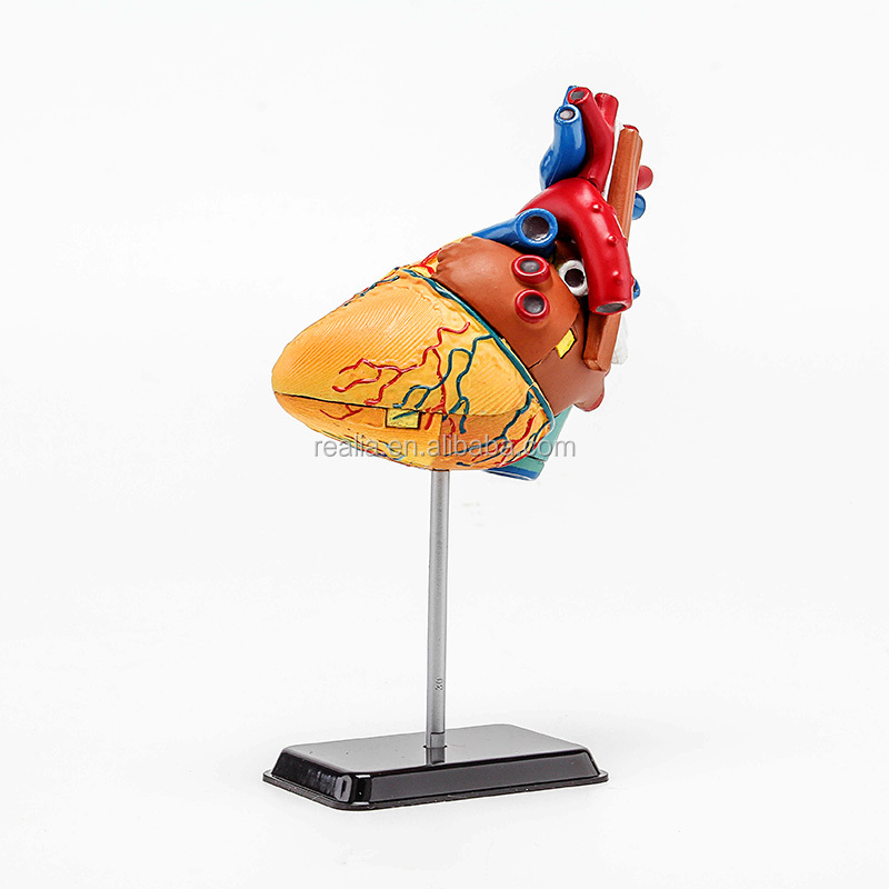 HM-BD-010 Ningbo Huamao Plastic heart model for DIY education