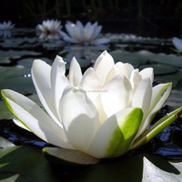 2015 Natural Plant Seeds wan lian plant seeds Water Lily seeds Nelumbo nucifera seeds
