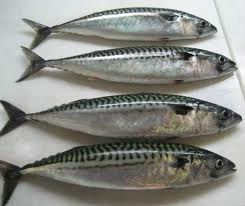 Frozen Atlantic Mackerel