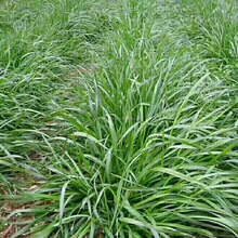 2017 supply perennial ryegrass seeds forage seeds grass seeds as rye grass family are annuals