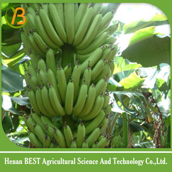 fresh green bananas for sale
