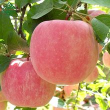 best fuji apple china fresh apple with lower price