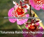 BB Orchids, Orchid plants fresh from Thailand : Tolumnia Rainbow