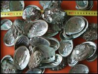 latest abalone shell price