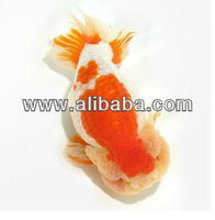 fancy goldfish ranchu