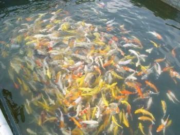 Koi fish buy pet fish product on for Selling koi fish
