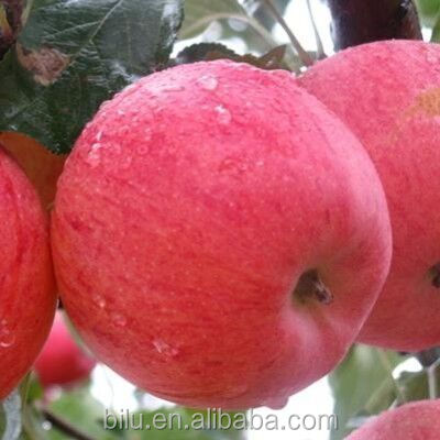good quality shaanxi red star apple for wholesale