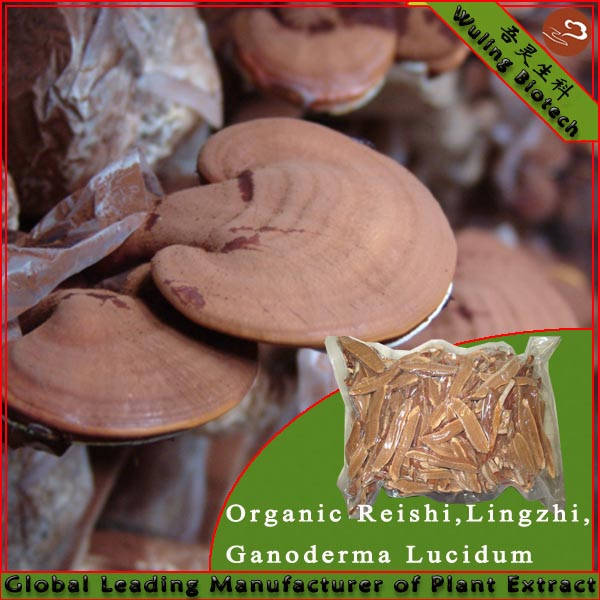 GMP 100% organic china herb Juncao growing raw reishi mushroom