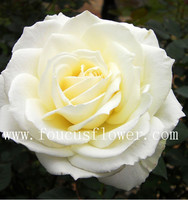 Flower Plants Sale Rose Flowers Natural Kenya Roses From Yunnan