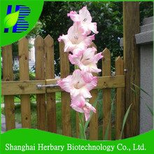 Various colours gladiolus flower bulbs for sale
