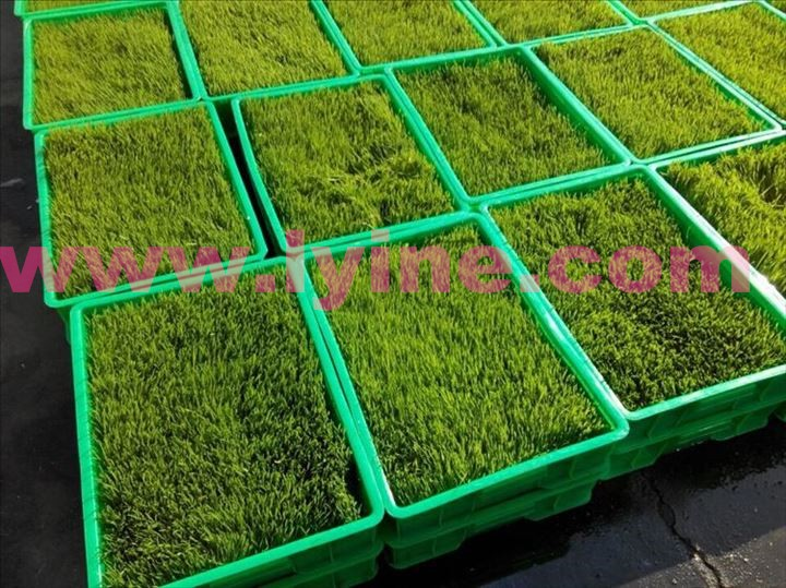 Green grass growing machine for animals feed
