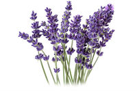 Lavender 40/42 Essential Oil Wholesale Prices