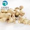 China Factory Supply Top quality Organic Ginger Root extract for nausea / Green Healthy Ginger Extract Capsules