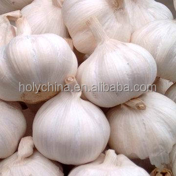 hot sale high quality garlic exporters china