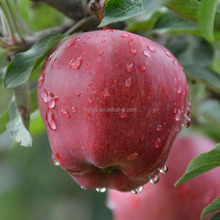 2017 Fresh Red Huaniu Apple Fruit on Sale