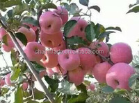 Pome Fruit Product Type and Fresh Style red apple fuji apple
