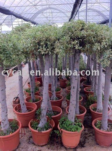 Ficus benjamina variegata bons i identificaci n del - Ficus benjamina precio ...