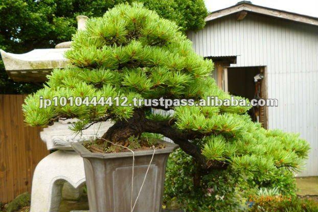 Molti tipi di coltivazione bonsai in giappone bonsai id for Tipi di bonsai
