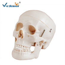 Deluxe Life-Size human skull model