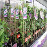 90cm Tonkin bamboo plants for gardening