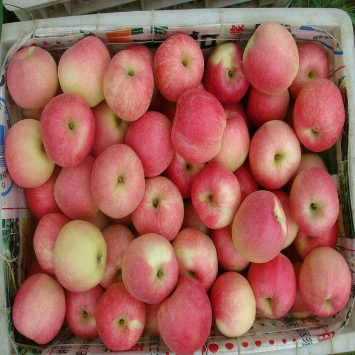 Fresh red green tasty fuji qinguan gala <strong>apple</strong>