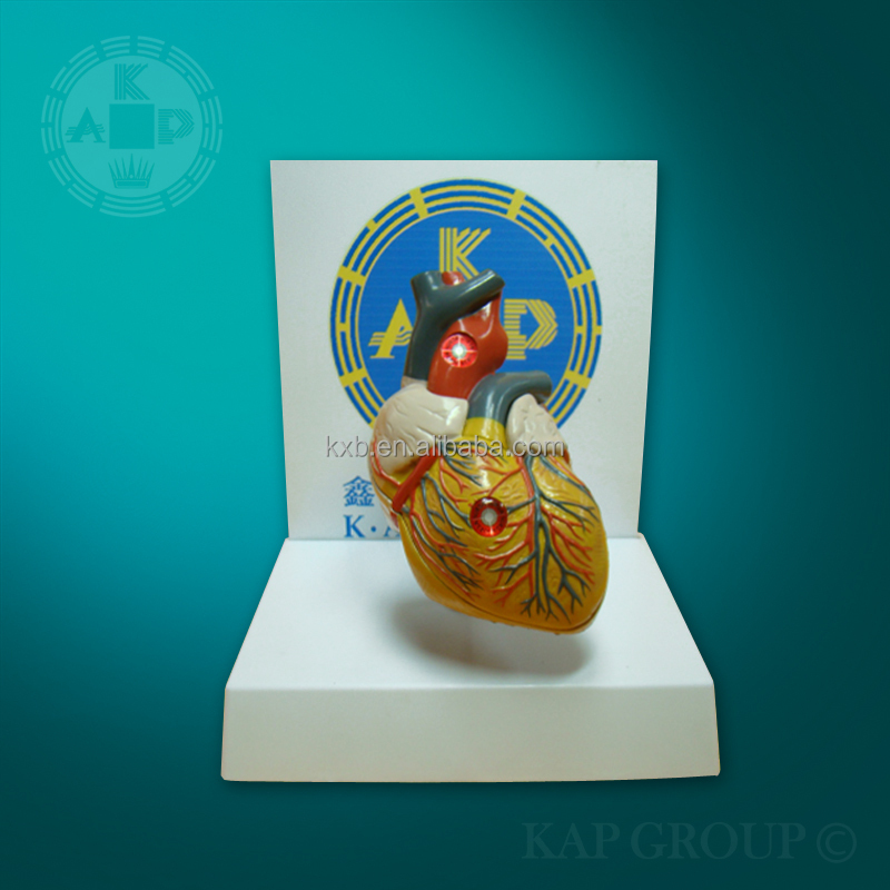 educational human anatomical organs model heart model
