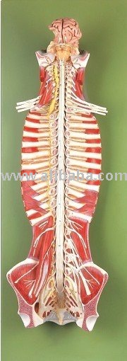 Spinal Cord and Spinal Nerves,halloween skeleton,halloween skull