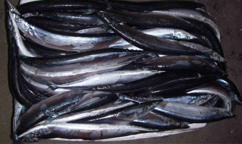 Frozen Pacific Saury / Mackerel Pike Whole Round hot sale best prices