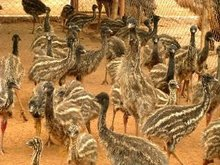 EMU Bird, EMU Oil, EMU Meat