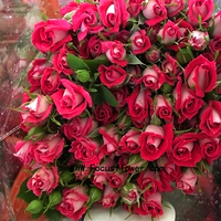 Cut Fresh Flowers High Quality Ecuadorian Spray Roses With 10 Stems/Bundle Fresh Cut Garden Spray Roses Spray Rose Porcelina Fro