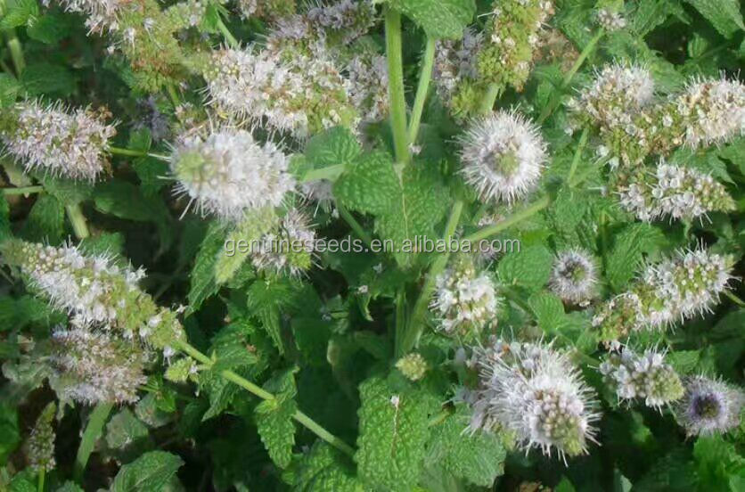 Summer Savory seeds for planting bee plant seeds herb mint seeds