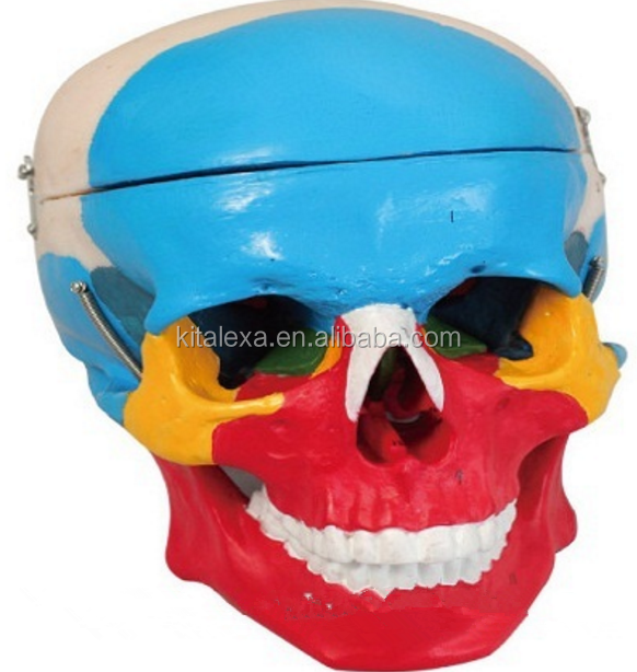 KA-FI000168 Human Skull Bone Separation Anatomical Medical Model