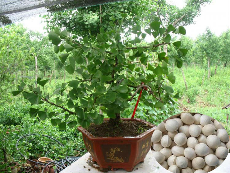 Top Quality Ginkgo seeds Supplier Tree Seeds For Growing