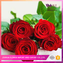 wedding and party decoration million red rose kenya for retailer