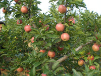 fresh new crop red star apple