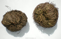 Rose of Jericho / Doradilla Flower Herb Selaginella lepidophylla Resurrection Plant